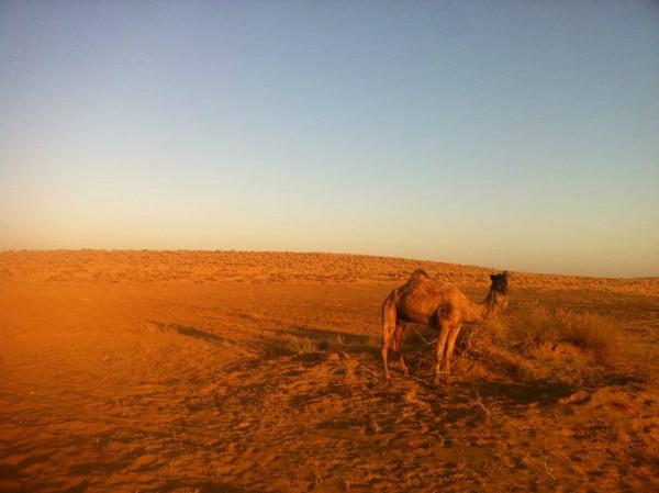 晨曦中的小骆驼.jejpg