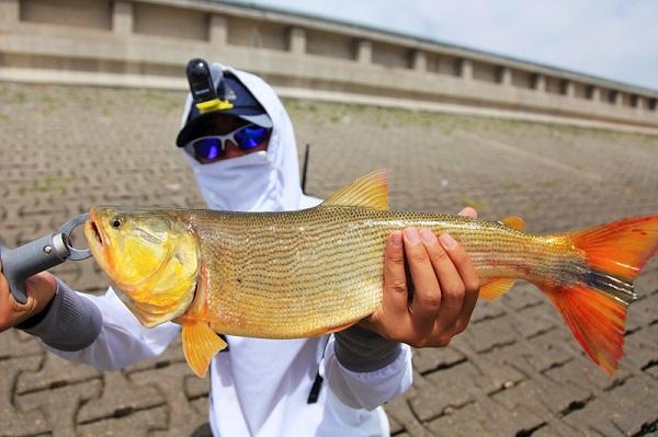 阿根廷La Plata河流中的黄金河虎