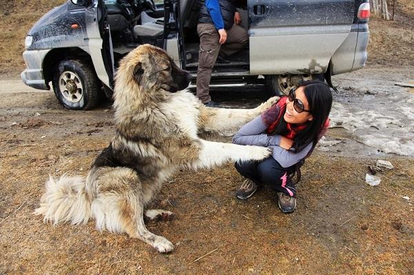 高加索犬跟格鲁吉亚人一样的热情